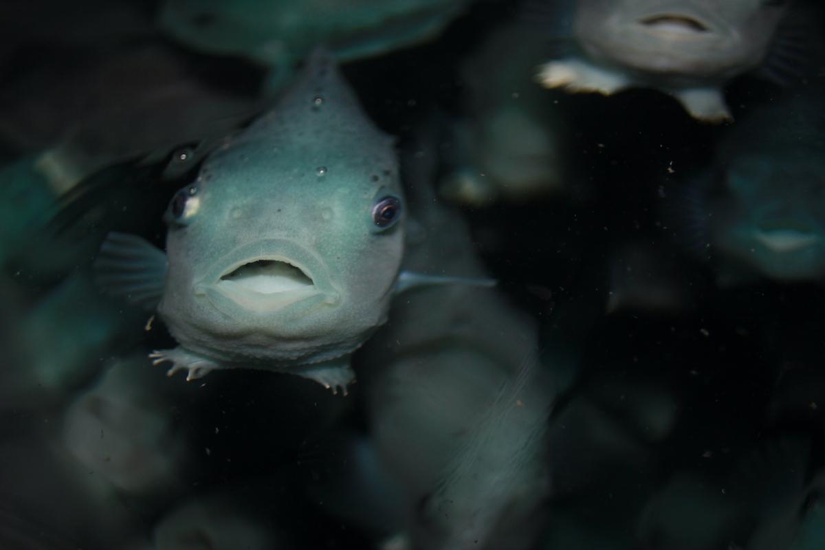 grønn fisk svømmer i stim